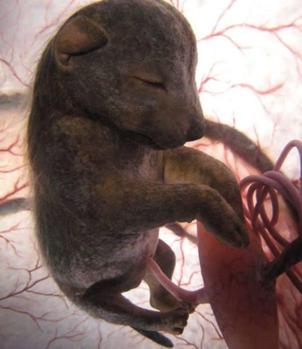 gravidanze cane