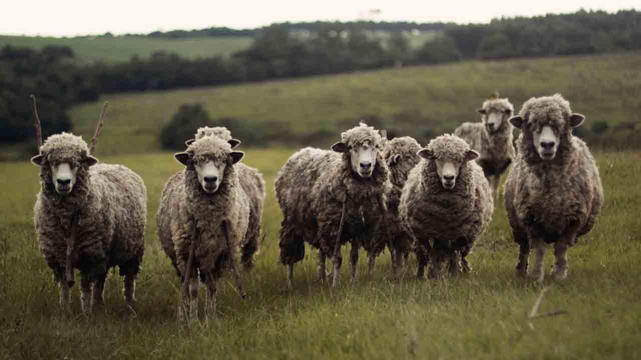 15 Pecore