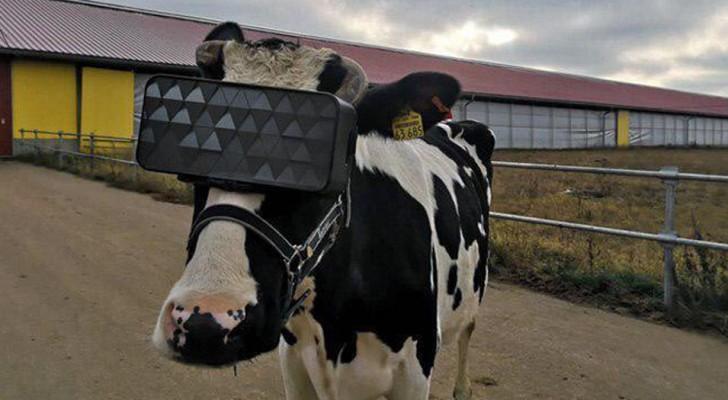 Occhiali per La Realtà Virtuale alle Mucche
