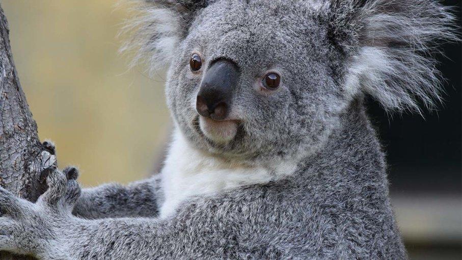 Strage di Koala