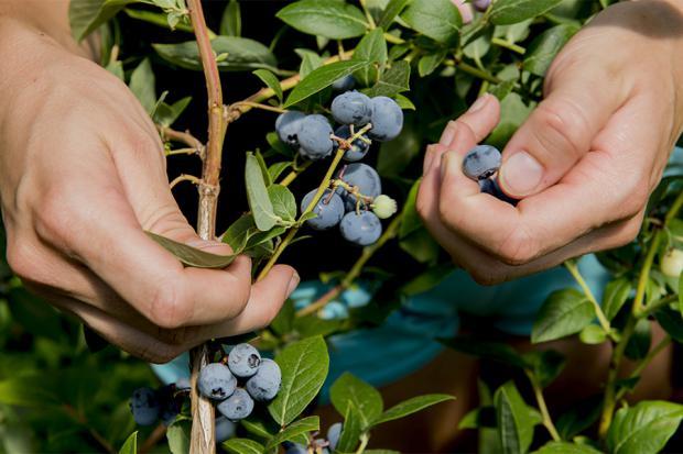 Alberi Da Frutta per La Città