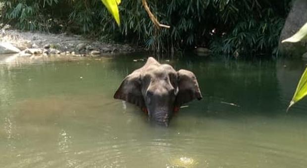 La Verità Sulla Morte dell'Elefantessa Uccisa dal Cibo Esplosivo