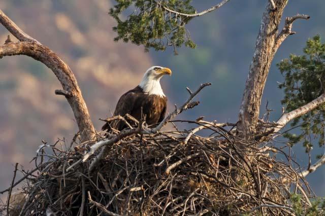 Cacciatore Uccide Aquila nel Nido Mentre Cova Le Uova, Morti
