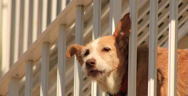 Lasciano il Cane nel Balcone, Muore Dopo Due Giorni Senza Cibo e Acqua Sotto al Sole a 40 Gradi