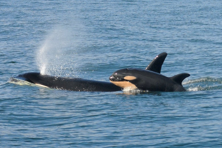 Orca Thlequah